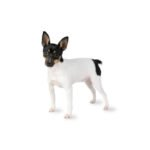 Petland Pets & Puppies Chicago Illinois Toy Fox Terrier