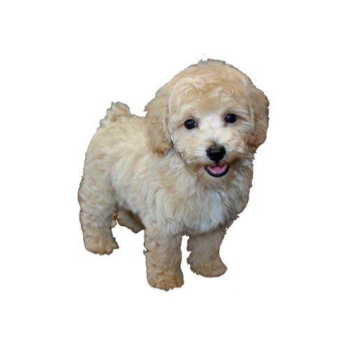 Dog Breed Info - Petland Pets Chicago, Illinois