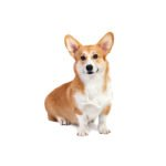 Petland Pets & Puppies Chicago Illinois Pembroke Welsh Corgi