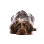 Petland Pets & Puppies Chicago Illinois German Wirehaired Pointer
