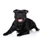 Petland Pets & Puppies Chicago Illinois Staffordshire Bull Terrier
