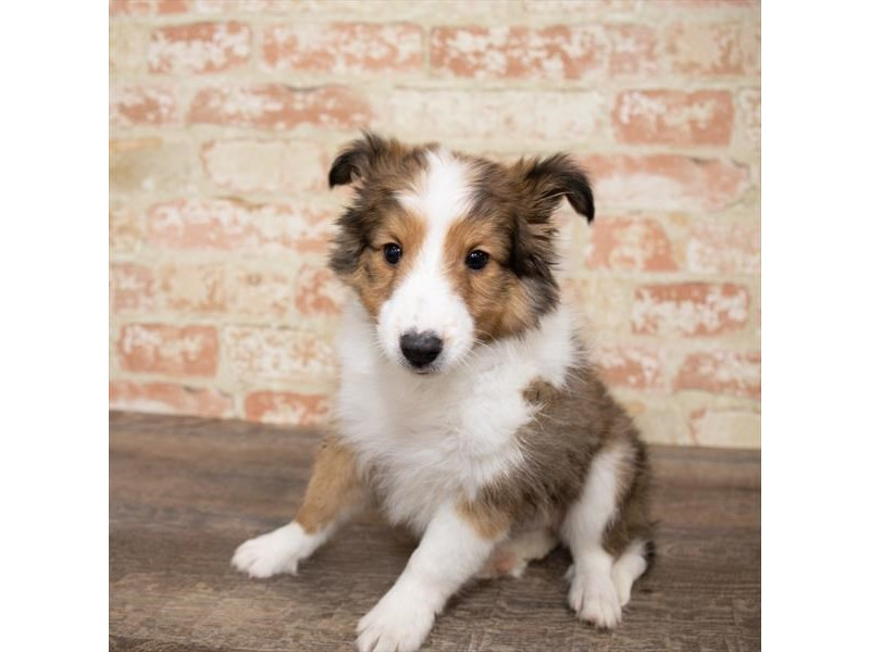 Shetland Sheepdog-Male-Sable / White-2651281-Petland Pets & Puppies Chicago Illinois