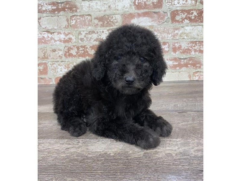Standard Poodle-Female-Black-2690284-Petland Pets & Puppies Chicago Illinois
