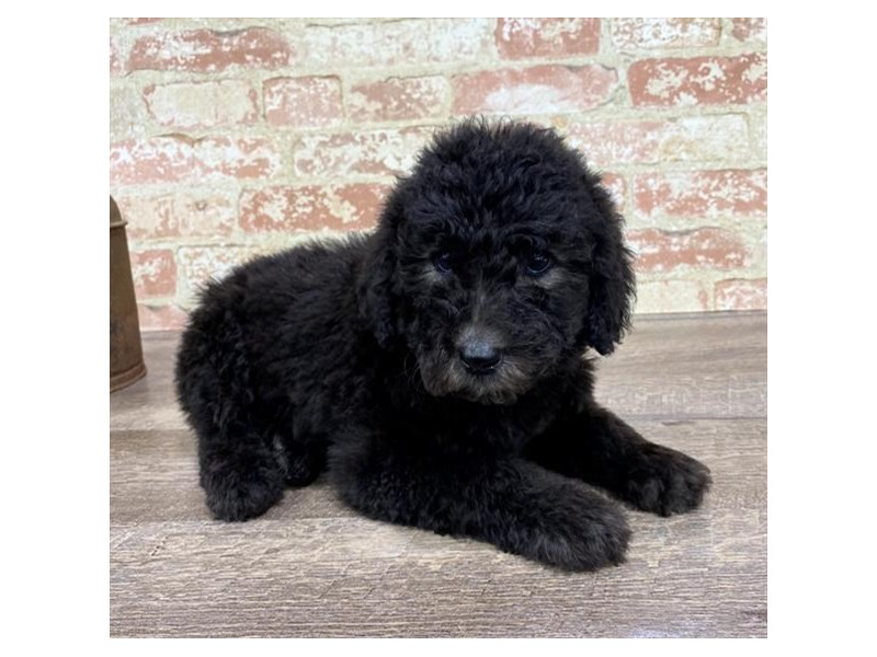 Standard Poodle-Male-Black-2690287-Petland Pets & Puppies Chicago Illinois