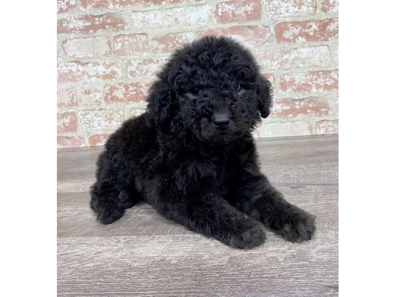 Standard Poodle-Male-Black-2690352-Petland Pets & Puppies Chicago Illinois