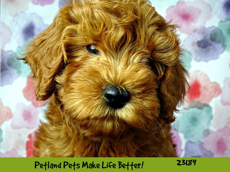 F1B Mini Goldendoodle-Female-Apricot-2695165-Petland Pets & Puppies Chicago Illinois