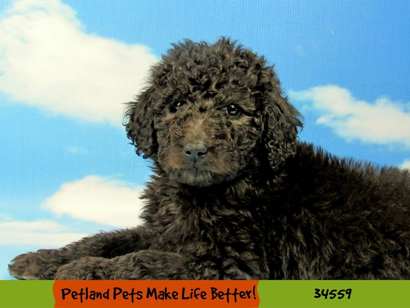 Standard Poodle-Female-Black-2690815-Petland Pets & Puppies Chicago Illinois