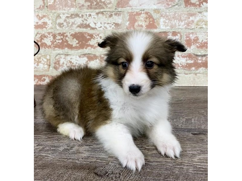 Shetland Sheepdog-Female-Sable / White-2696844-Petland Pets & Puppies Chicago Illinois