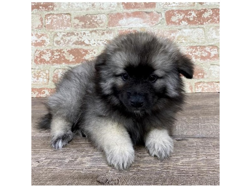 Keeshond-Female-Black / Silver-2696916-Petland Pets & Puppies Chicago Illinois