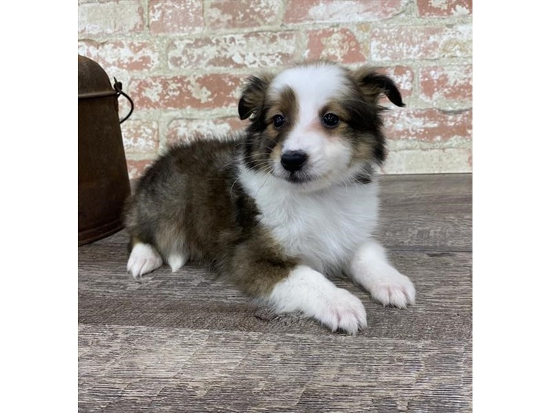 Shetland Sheepdog-Female-Sable / White-2696945-Petland Pets & Puppies Chicago Illinois