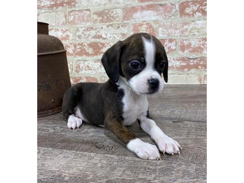 Boggle-Female-Black Brindle / White-2696959-Petland Pets & Puppies Chicago Illinois