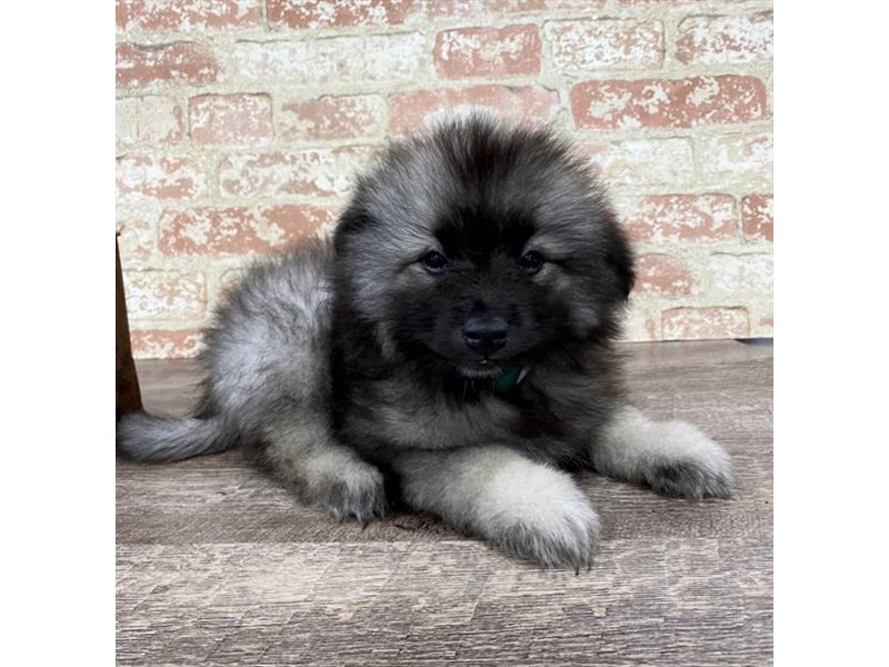 Keeshond-Female-Black / Silver-2696963-Petland Pets & Puppies Chicago Illinois