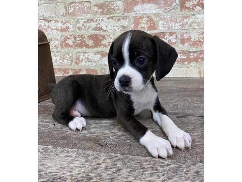 Boggle-Female-Black White / Tan-2697203-Petland Pets & Puppies Chicago Illinois