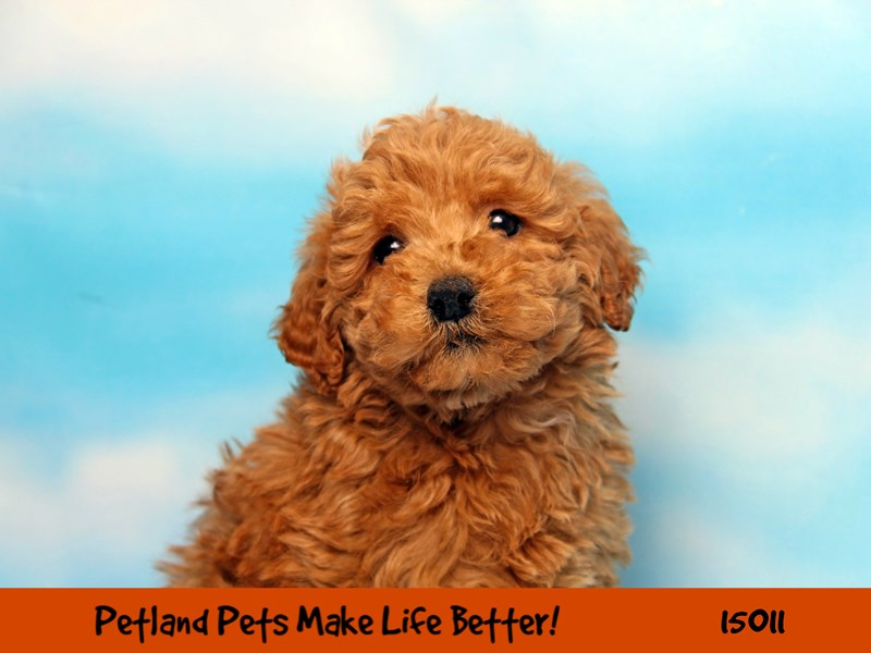 F1B Mini Goldendoodle-Male-Red-2701778-Petland Pets & Puppies Chicago Illinois