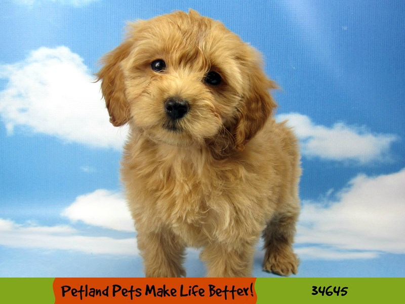 F1B Mini Goldendoodle-Female-Apricot-2729071-Petland Pets & Puppies Chicago Illinois