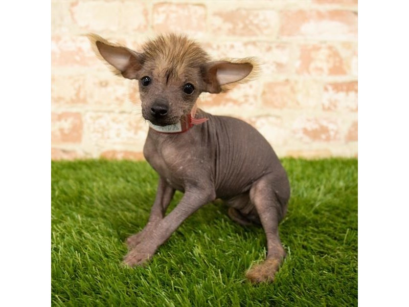 Chinese Crested-Female-Black-2745291-Petland Pets & Puppies Chicago Illinois