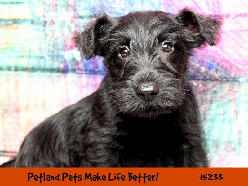 Scottish Terrier-Male-Black-2758306-Petland Pets & Puppies Chicago Illinois
