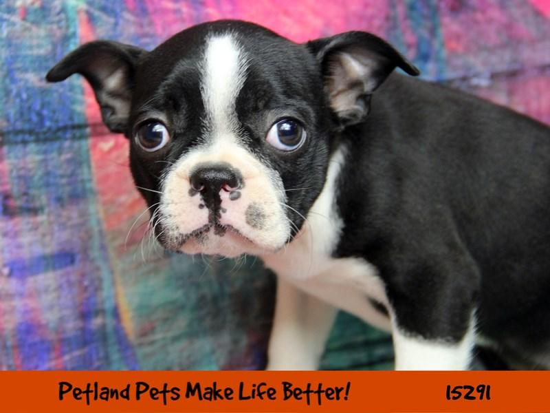 Boston Terrier-Female-Black / White-2773400-Petland Pets & Puppies Chicago Illinois
