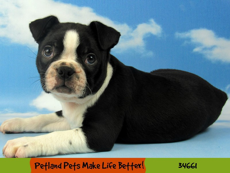 Boston Terrier-Male-Black and White-2729153-Petland Pets & Puppies Chicago Illinois