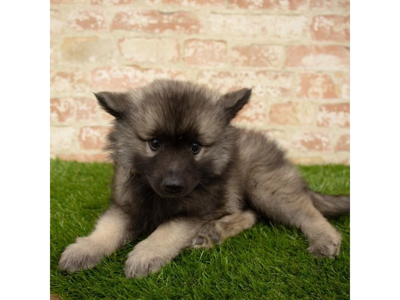 Keeshond-Male-Silver Sable-2745299-Petland Pets & Puppies Chicago Illinois
