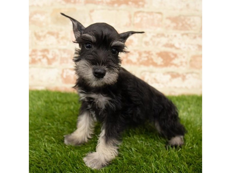 Miniature Schnauzer-Female-Black / Silver-2767737-Petland Pets & Puppies Chicago Illinois