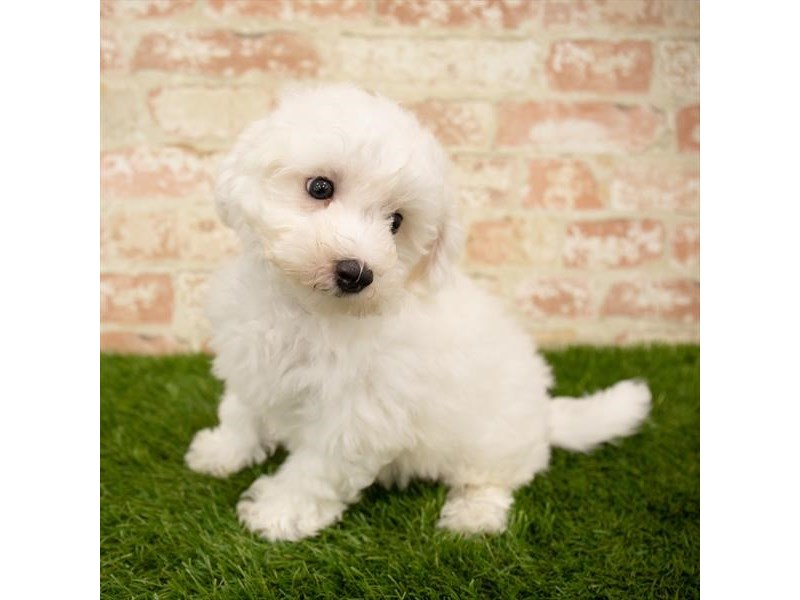 Bichon Frise-Male-White-2767750-Petland Pets & Puppies Chicago Illinois