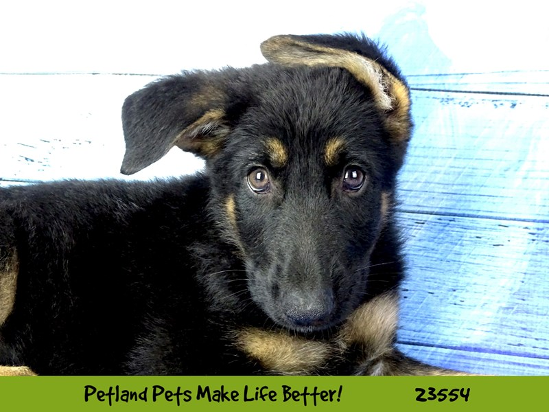 German Shepherd Dog-Male-Black / Tan-2788601-Petland Pets & Puppies Chicago Illinois
