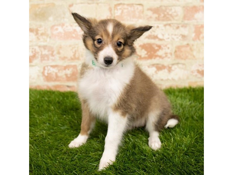 Shetland Sheepdog-Female-Sable / White-2790567-Petland Pets & Puppies Chicago Illinois