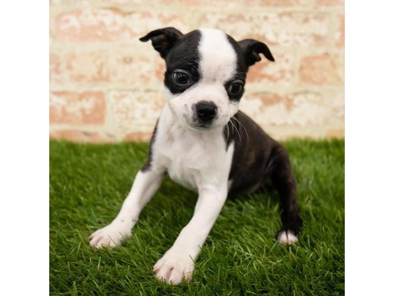 Boston Terrier-Female-Brindle / White-2790577-Petland Pets & Puppies Chicago Illinois