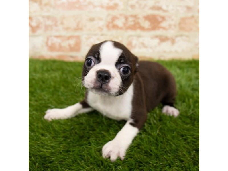 Boston Terrier-Female-Brindle / White-2797659-Petland Pets & Puppies Chicago Illinois