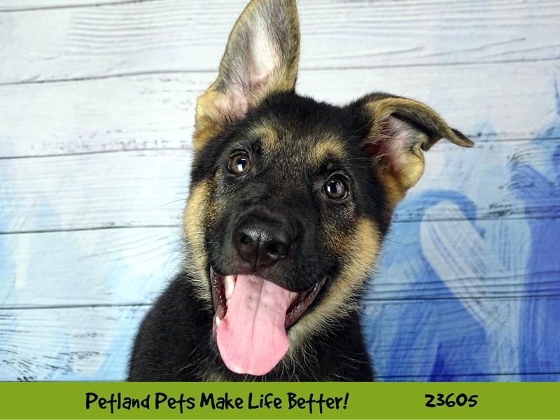 German Shepherd Dog-Female-Black / Tan-2802946-Petland Pets & Puppies Chicago Illinois