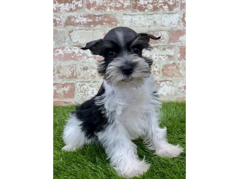 Miniature Schnauzer-Female-Black / White-2804803-Petland Pets & Puppies Chicago Illinois