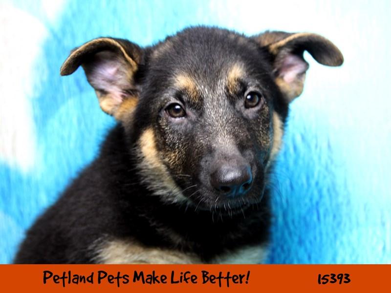 German Shepherd Dog-Female-Black / Tan-2802943-Petland Pets & Puppies Chicago Illinois