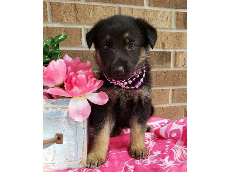 German Shepherd Dog-Female-Black / Tan-2810182-Petland Pets & Puppies Chicago Illinois