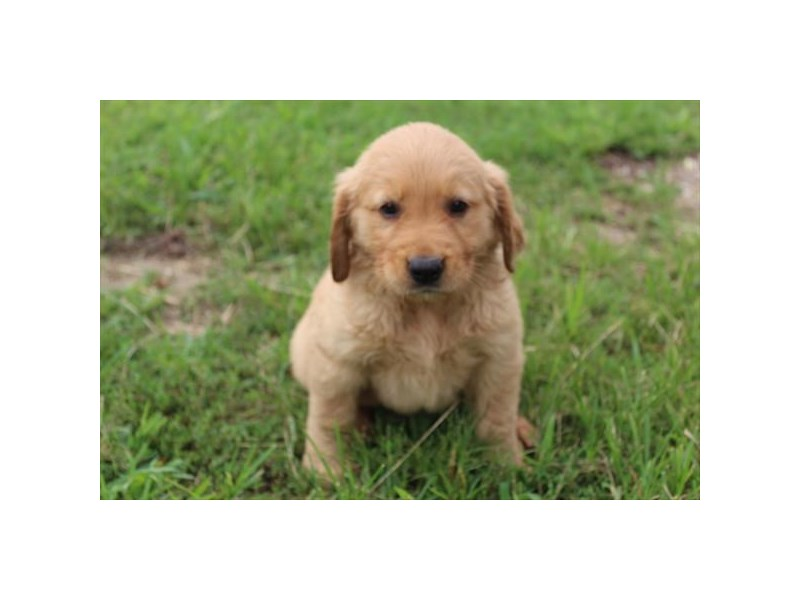 Golden Retriever-Female-Golden-2826632-Petland Pets & Puppies Chicago Illinois