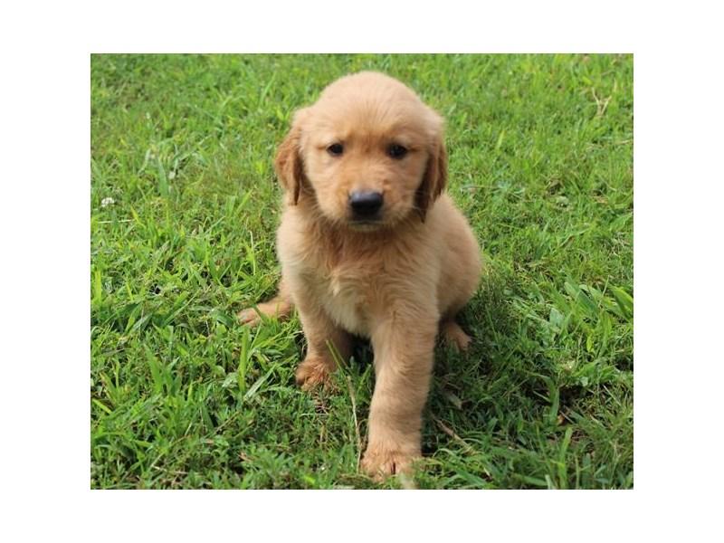 Golden Retriever-Male-Golden-2826634-Petland Pets & Puppies Chicago Illinois