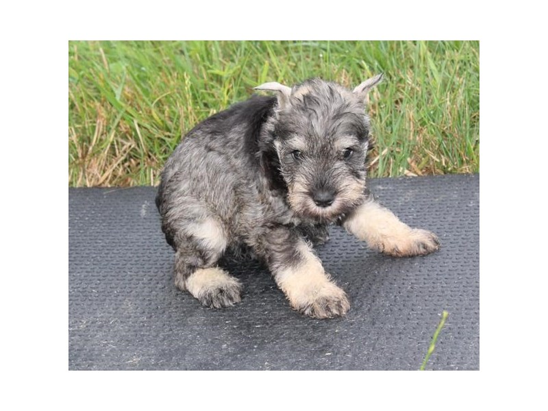Miniature Schnauzer-Female-Salt / Pepper-2826636-Petland Pets & Puppies Chicago Illinois