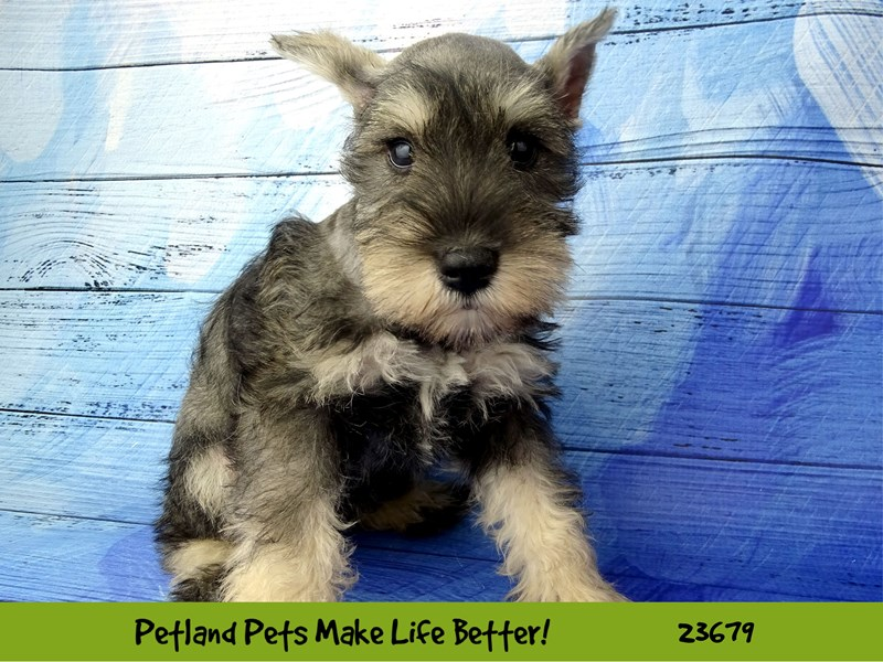 Miniature Schnauzer-Female-Salt / Pepper-2826251-Petland Pets & Puppies Chicago Illinois