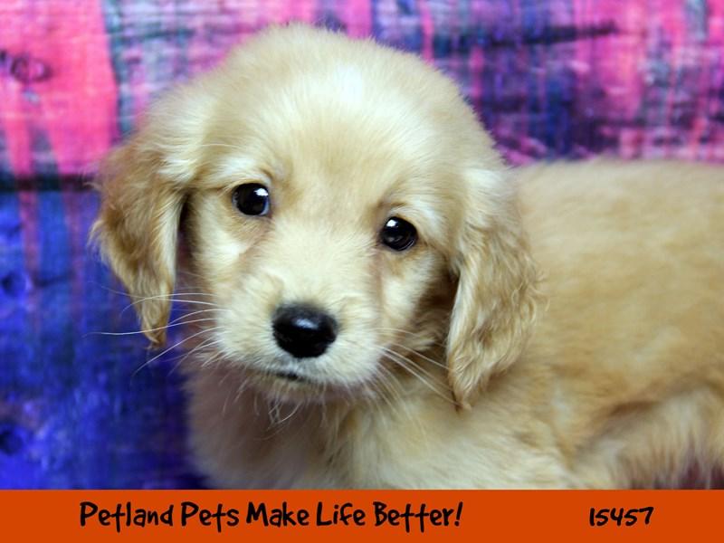 Golden Retriever-Male-Golden-2833208-Petland Pets & Puppies Chicago Illinois