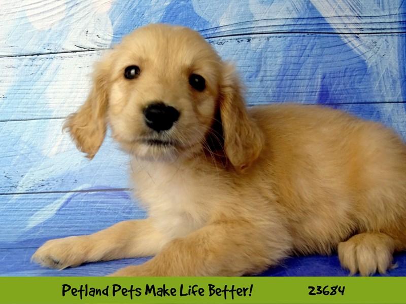 Golden Retriever-Male-Golden-2833316-Petland Pets & Puppies Chicago Illinois