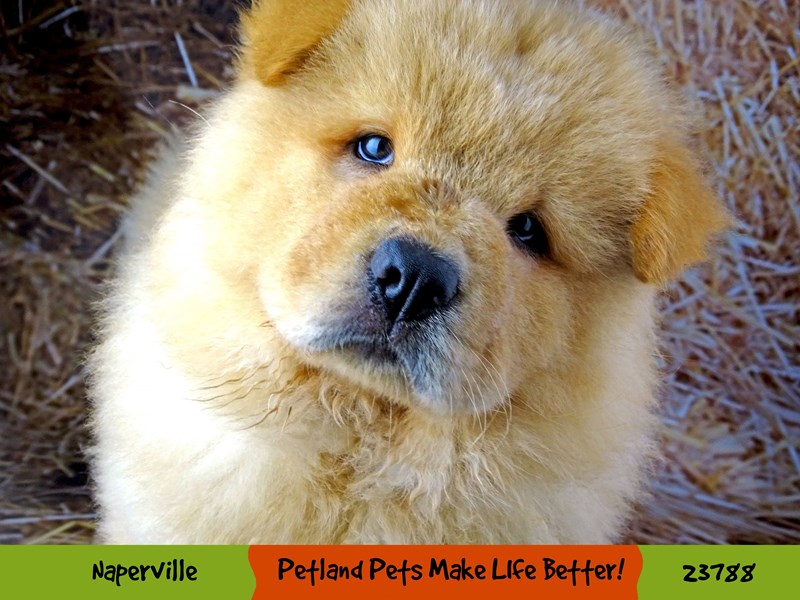 Chow Chow-Male-Cinnamon-2870900-Petland Pets & Puppies Chicago Illinois