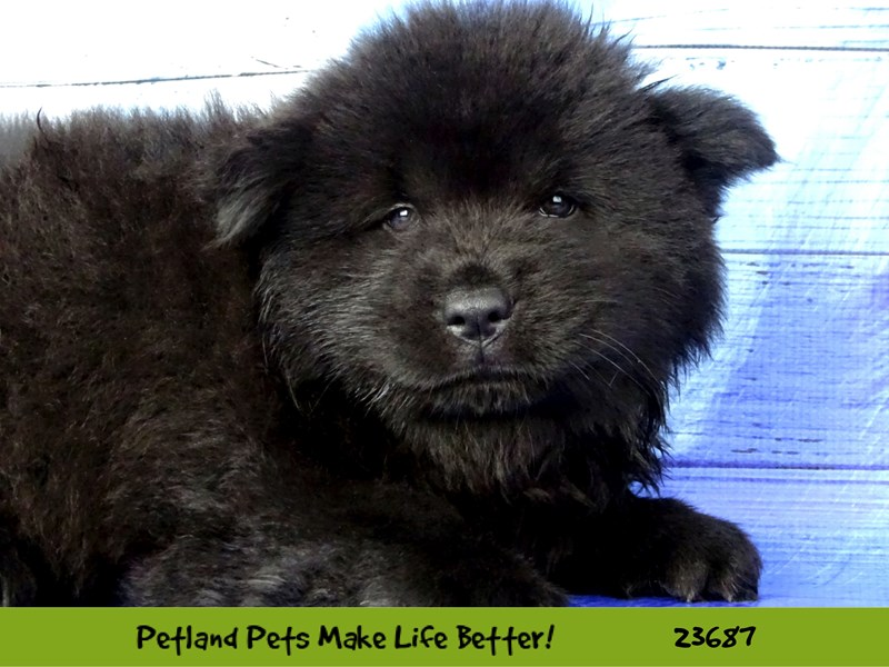Chow Chow-Male-Black-2833375-Petland Pets & Puppies Chicago Illinois