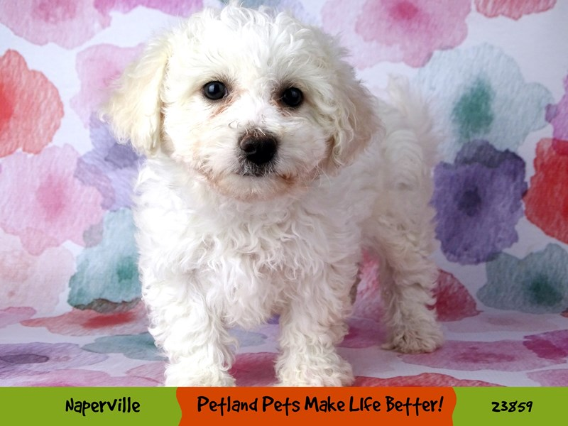 Bichon Frise-Female-White-2890998-Petland Pets & Puppies Chicago Illinois