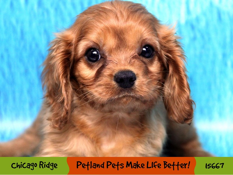 Cavalier King Charles Spaniel-Male-Ruby-2905152-Petland Pets & Puppies Chicago Illinois