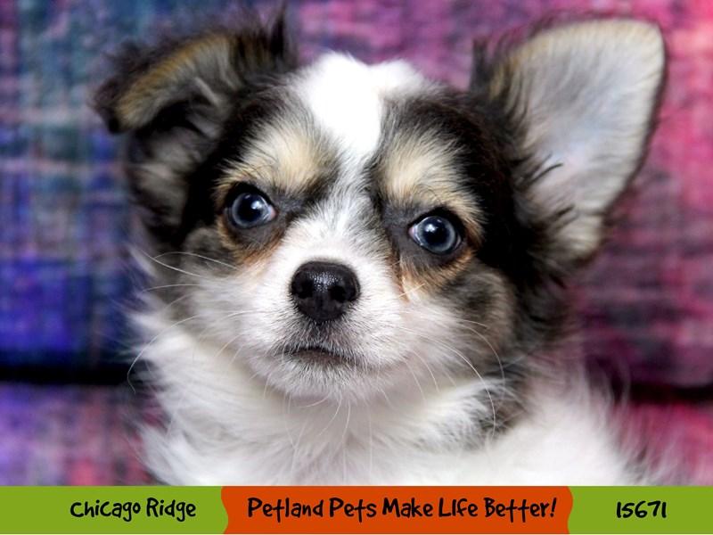 Chihuahua-Male-Black / White-2906968-Petland Pets & Puppies Chicago Illinois