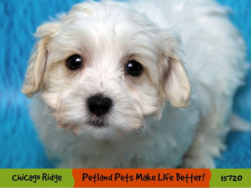 Cavachon-Female-White-2921089-Petland Pets & Puppies Chicago Illinois
