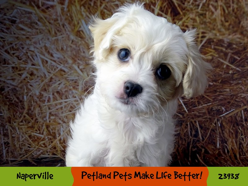 Cavachon-Female-White-2921339-Petland Pets & Puppies Chicago Illinois