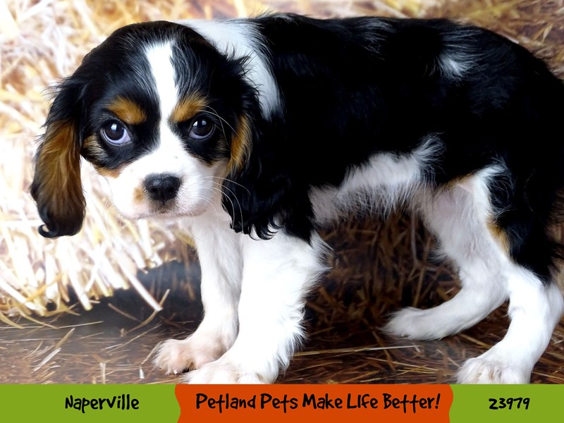 Cavalier King Charles Spaniel-Female-Tri-Colored-2934391-Petland Pets & Puppies Chicago Illinois