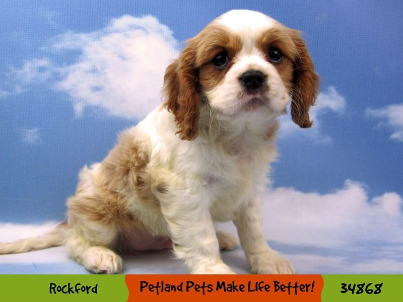 Cavalier King Charles Spaniel-Male-Blenheim-2890987-Petland Pets & Puppies Chicago Illinois