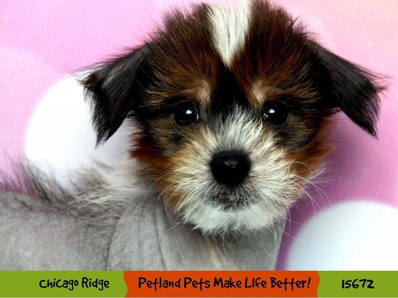 Chinese Crested-Male-Red / White-2906957-Petland Pets & Puppies Chicago Illinois